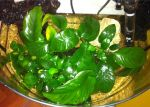 Anubias spp. by Ale87tv