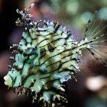 Chaetodermis penicilligerus by Ricky mi